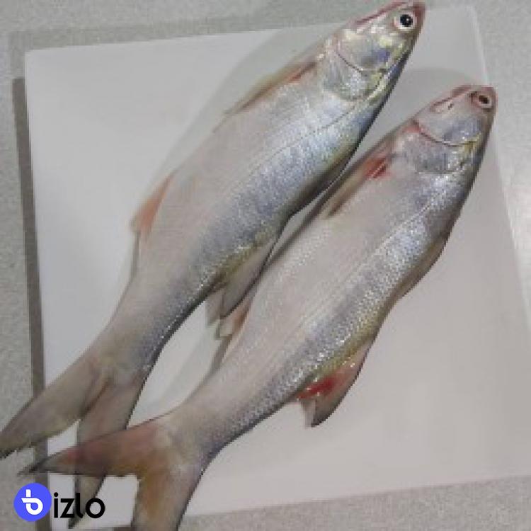 ماهي راژگو